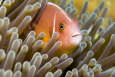 white-maned anemonefish or pink anemonefish, Amphiprion perideraion.