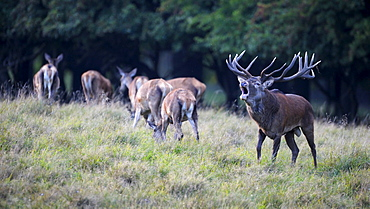 Red deer (Cervus elaphus), royal stag with does, rutting stag, old bull, roaring, mating herd, Jaegersborg, Denmark, Scandinavia, Europe