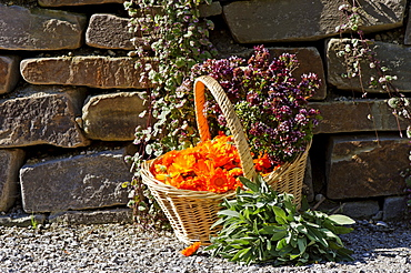 Basket with Pot Marigold, Butterwort, Sage, Majoram