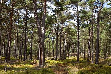 Darsser Wald forest, Nationalpark Vorpommersche Boddenlandschaft national park, Fischland-Darss-Zingst peninsula, Mecklenburg-Western Pomerania, Germany, Europe