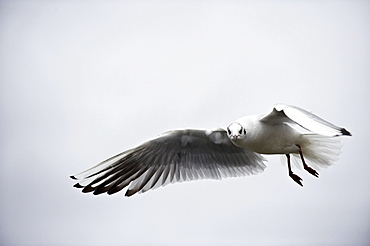 Black-headed gull (Larus ridibundus) flying