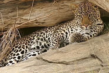 leopard (panthera pardus) resting, Masai Mara, Kenya, Afrika