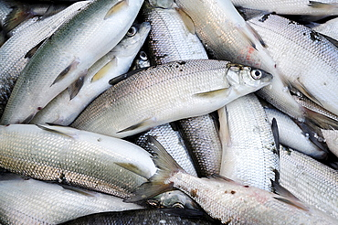 Recently caught whitefish from Lake Starnberg, Fuenfseenland area, Upper Bavaria, Bavaria, Germany, Europe