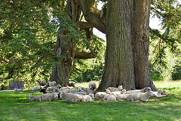 Sheep resting under old cedars, Wimborne, Dorset, southern England, England, United Kingdom, Europe