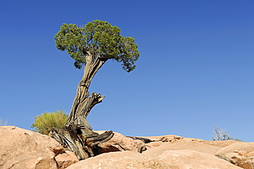 Utah Juniper (Juniperus osteopserma), growing in rock, Grand Canyon, Arizona, USA