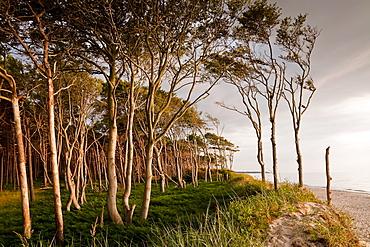 Coastal forest, Westrand Darss, Western Pomerania Lagoon Area National Park, Mecklenburg-Western Pomerania, Germany, Europe