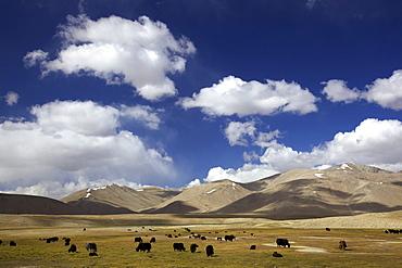 Yak (Bos mutus), herd, Pamir mountain range, Tajikistan, Central Asia