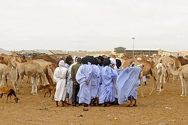Trading on the camel market of Nouakchott, Mauritania, northwestern Africa