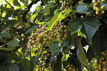 Empress Tree, Princess Tree or Foxglove Tree (Paulownia tomentosa), seeds