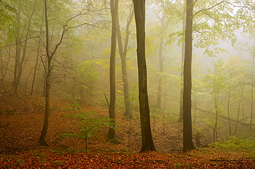 Fog in a beech forest in the Harz, Saxony-Anhalt, Germany, Europe