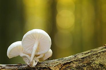 Porcelain Fungus (Oudemansiella mucida) in Jasmund National Park, Ruegen, Mecklenburg-Western Pomerania, Germany, Europe