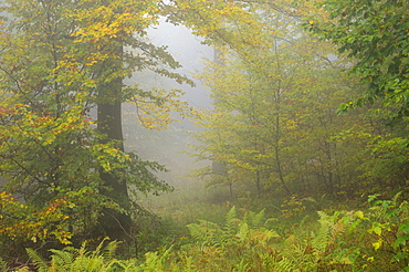 Autumn mist in a forest, Harz mountain range, Saxony-Anhalt, Germany, Europe