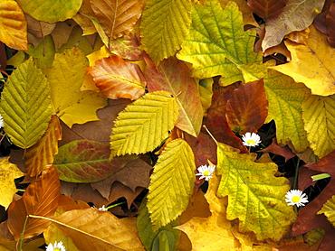 Various autumn leaves