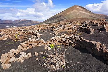 Traditional wine-growing region in the lava landscape of La Geria, behind, the Montana Guardilama, Lanzarote, Canary Islands, Spain, Europe