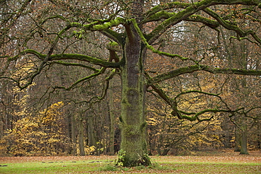 Oak (Quercus) without leaves, Karlsaue, Kassel, North Hesse, Germany, Europe
