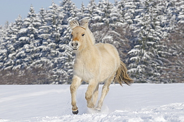 Young Fjord horse or Norwegian Fjord Horse running in the snow