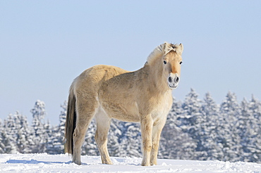Young Fjord horse or Norwegian Fjord Horse in the snow