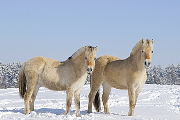Two young Fjord horses or Norwegian Fjord Horses in the snow