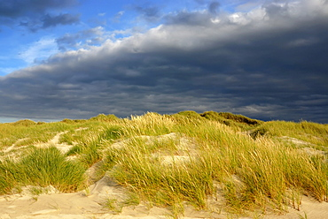 Dune landscape, dunes with European Marram Grass or Beachgrass (Ammophila arenaria) at the front, dunes near Rodhus, Rodhus, North Jutland, Denmark, Europe