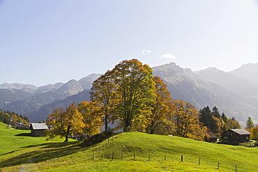 Sycamore (Acer pseudoplatanus) with alpine hut, Braunwald, Glarus Alps, Canton Glarus, Switzerland, Europe