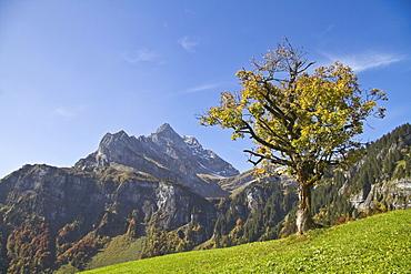 Sycamore (Acer pseudoplatanus), in the back Mt. Ortstock, Braunwald, Glarus Alps, Canton Glarus, Switzerland, Europe