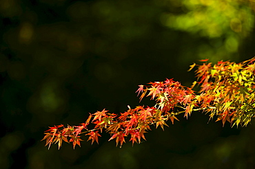 Red maple leaves (Acer) in autumn