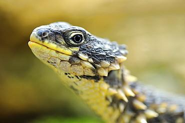 Giant Girdled Lizard (Cordylus giganteus)