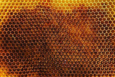 Empty spun honey combs of the Honey Bee (Apis)