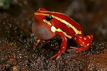Phantasmal poison frog (Epipedobates tricolor) in captivity