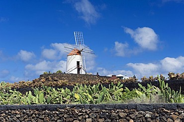 Wind mill, cactus field for breeding lice for natural dyes in Guatiza, prickly pear (Opuntia ficus-indica), Lanzarote, Canary Islands, Spain, Europe