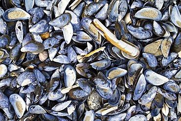 Sea shells, North Sea, North Jutland, Denmark, Scandinavia, Europe