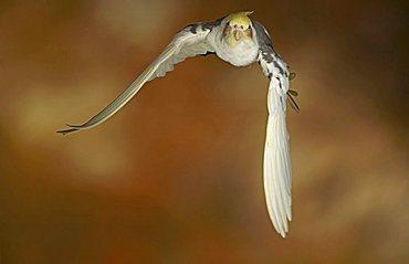 Cockatiel, Quarrion or Weiro (Nymphicus hollandicus) in flight