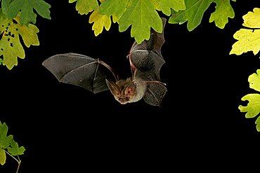 Brown Long-Eared Bat (Plecotus auritus) in flight