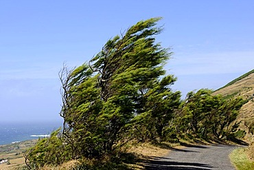 Trees in the wind on Ponta da Restinga on the island of Graciosa, Azores, Portugal