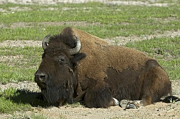 Bison (Bison bison), in a sand bath, Yellowstone National Park, Wyoming, USA, America