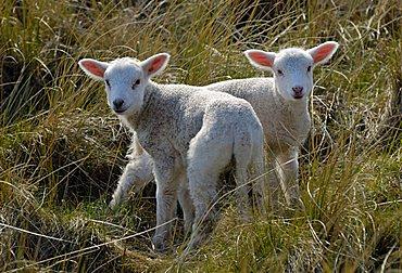 Two Domestic Sheep Lambs (Ovis orientalis aries)