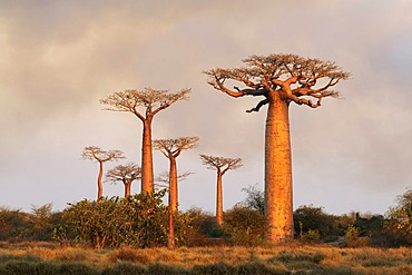 Baobab alley (Adansonia grandidieri), in the evening light, Morondava, Madagascar, Africa