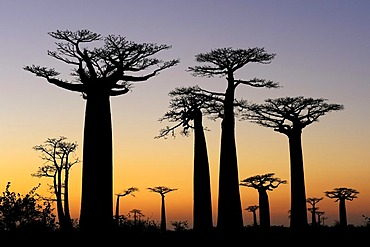 Baobab Alley, Grandidier's Baobab (Adansonia grandidieri), shortly before sunrise, silhouette of trees at dawn, Morondava, Madagascar, Africa