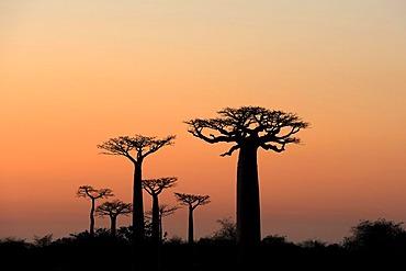 Grandidier's Baobab (Adansonia grandidieri), silhouette of trees at dawn, Morondava, Madagascar, Africa