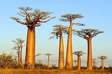 Baobab Alley, Grandidier's Baobab (Adansonia grandidieri), during magic hour, Morondava, Madagascar, Africa