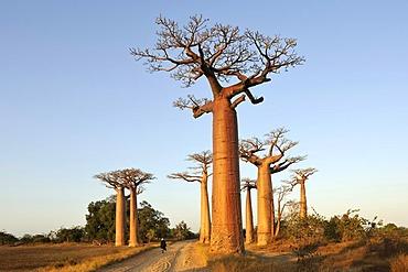 Baobab-Alley, Grandidier's Baobab (Adansonia grandidieri), in the morning light, Morondava, Madagascar, Africa