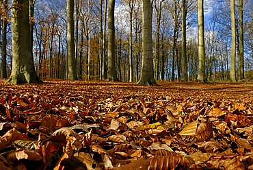 Forest with leaf litter in autumn, Kiel, Schleswig-Holstein, Deutschland