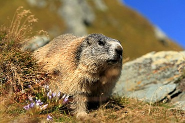Alpine Marmot (Marmota marmota), adult, Grossglockner Mountain Range, Hohe Tauern National Park, Austria, Alps, Europe
