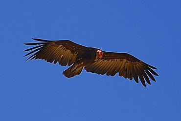 Hooded Vulture (Necrosyrtes monachus) in flight, The Gambia, Africa