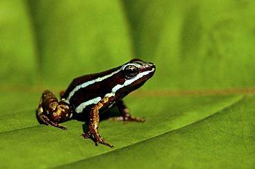 Phantasmal poison frog (Epipedobates tricolor), Buenaventura, Ecuador, South America