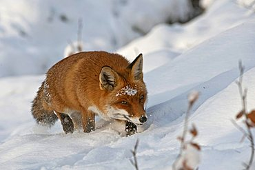 Red Fox (Vulpes vulpes) in the snow, Knuell Wildlife Park, Homberg, North Hesse, Germany, Europe