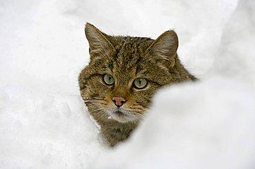 Wildcat (Felis silvestris) in snow, half portrait, open-air enclosure, Bavarian Forest National Park, Bavaria, Germany, Europe