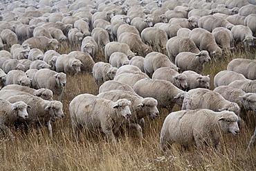 A flock of sheep on a winter pasture, San Luis Valley, Manassa, Colorado, USA, America