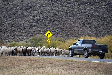 A shepherd moves a flock of sheep and a few goats along a highway to a winter pasture in Colorado's San Luis Valley, Manassa, Colorado, USA, America