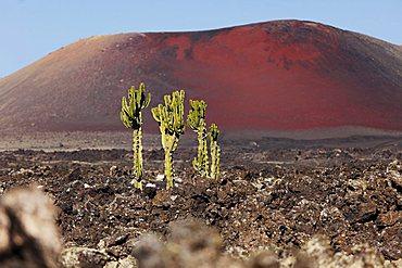 Spurge (Euphorbia) in a lava field, La Geria, Caldera Colorada volcano, Lanzarote, Canary Islands, Spain, Europe